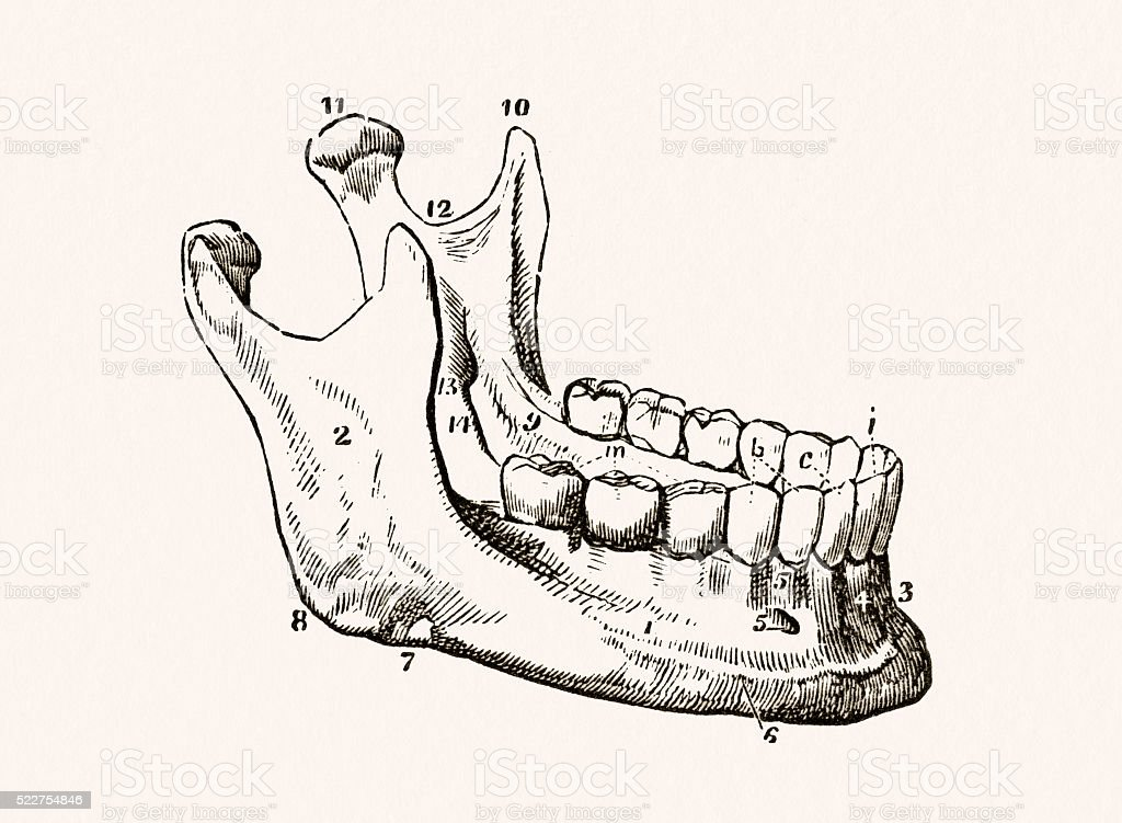 Human Lower Jaw 19 Century Medical Illustration Stock