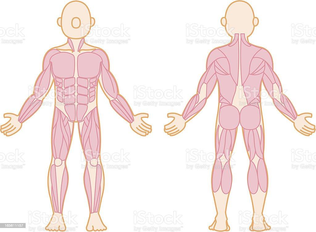 Menschlicher Muskel Stock Vektor Art und mehr Bilder von Anatomie ...