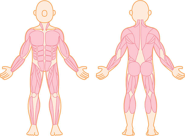 human muscle - autopsy stock illustrations, clip art, cartoons, & icons