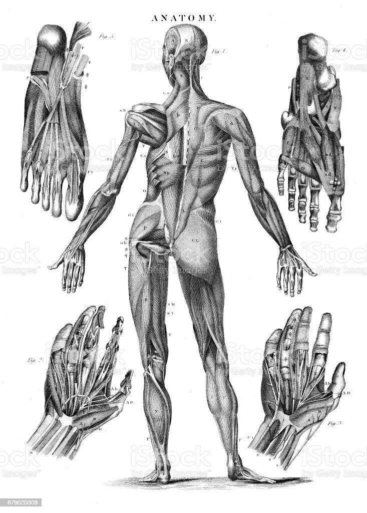 Ilustración de Anatomía De Músculos Humanos Grabado 1878 y más banco ...