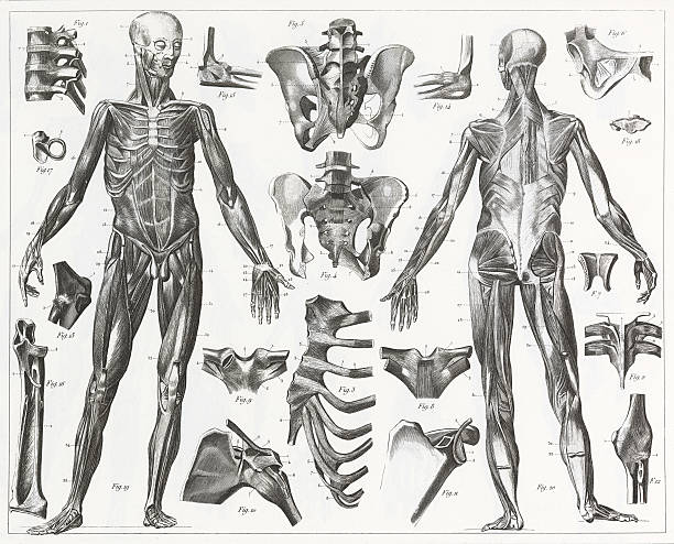 Human Muscles and Ligaments Engraving Engraved illustrations of Anatomy of the Ligaments and Muscles from Iconographic Encyclopedia of Science, Literature and Art, Published in 1851. Copyright has expired on this artwork. Digitally restored. human muscle stock illustrations