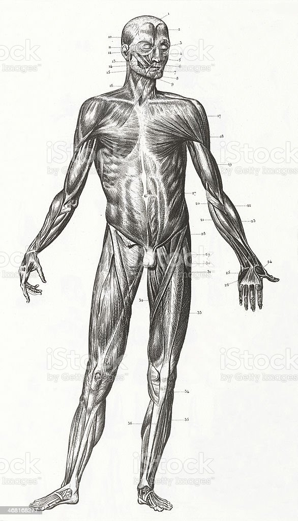 Human Muscles and Ligaments Engraving vector art illustration