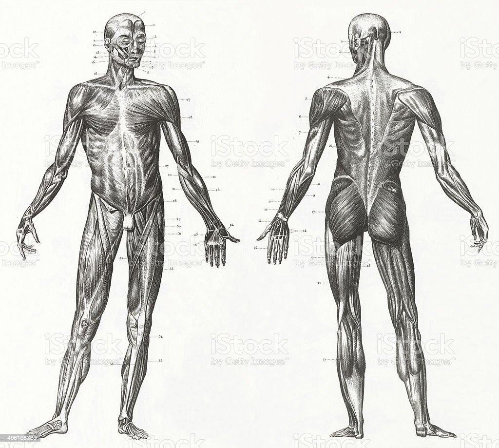 Der Muskeln Und Sehnen Gravur Stock Vektor Art und mehr Bilder von ...