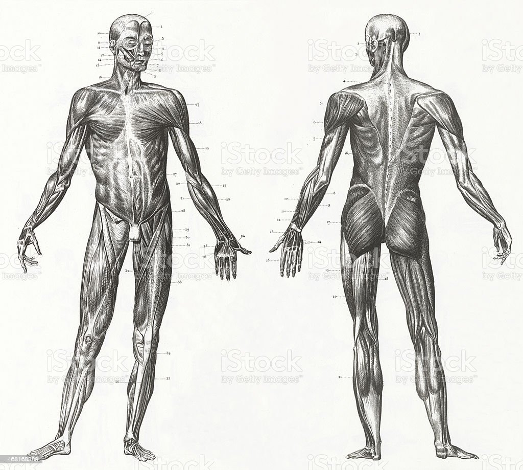 Black And White Anatomy Clip Art - Best Graphic Sharing •