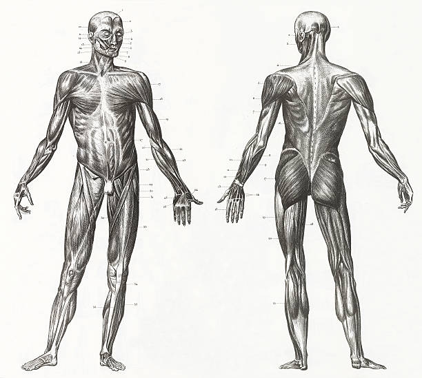 Human Muscles and Ligaments Engraving Engraved illustrations of Anatomy of the Ligaments and Muscles from Iconographic Encyclopedia of Science, Literature and Art, Published in 1851. Copyright has expired on this artwork. Digitally restored. biomedical illustration stock illustrations