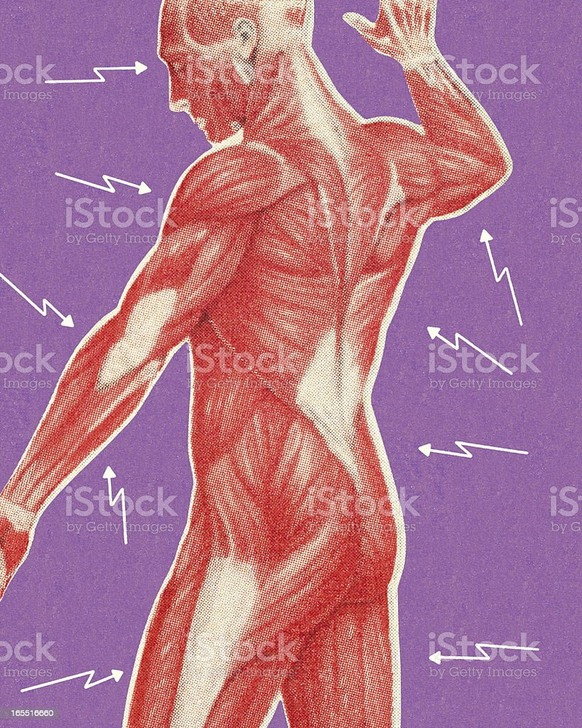 Human Muscular Anatomy royalty-free stock vector art