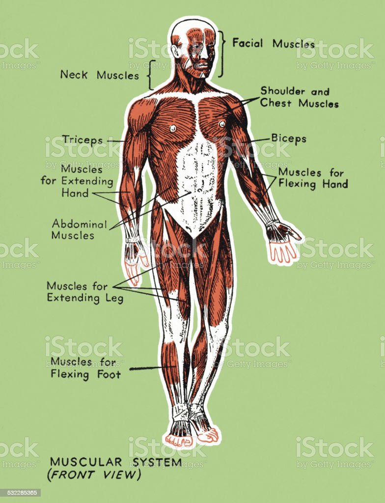 Human Muscular System Stock Vector Art More Images Of 2015