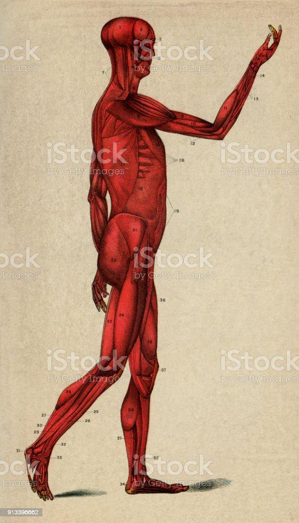 Menschlicher Muskelsystem Stock Vektor Art und mehr Bilder von 19 ...