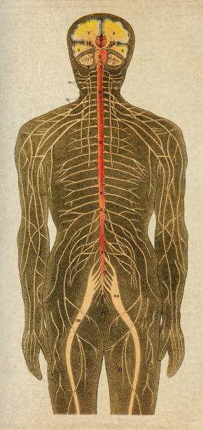 stockillustraties, clipart, cartoons en iconen met menselijk zenuwstelsel - antiek toestand