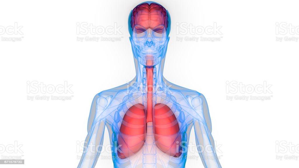 Anatomie Der Menschlichen Organe Vektor Illustration 671579730 | iStock