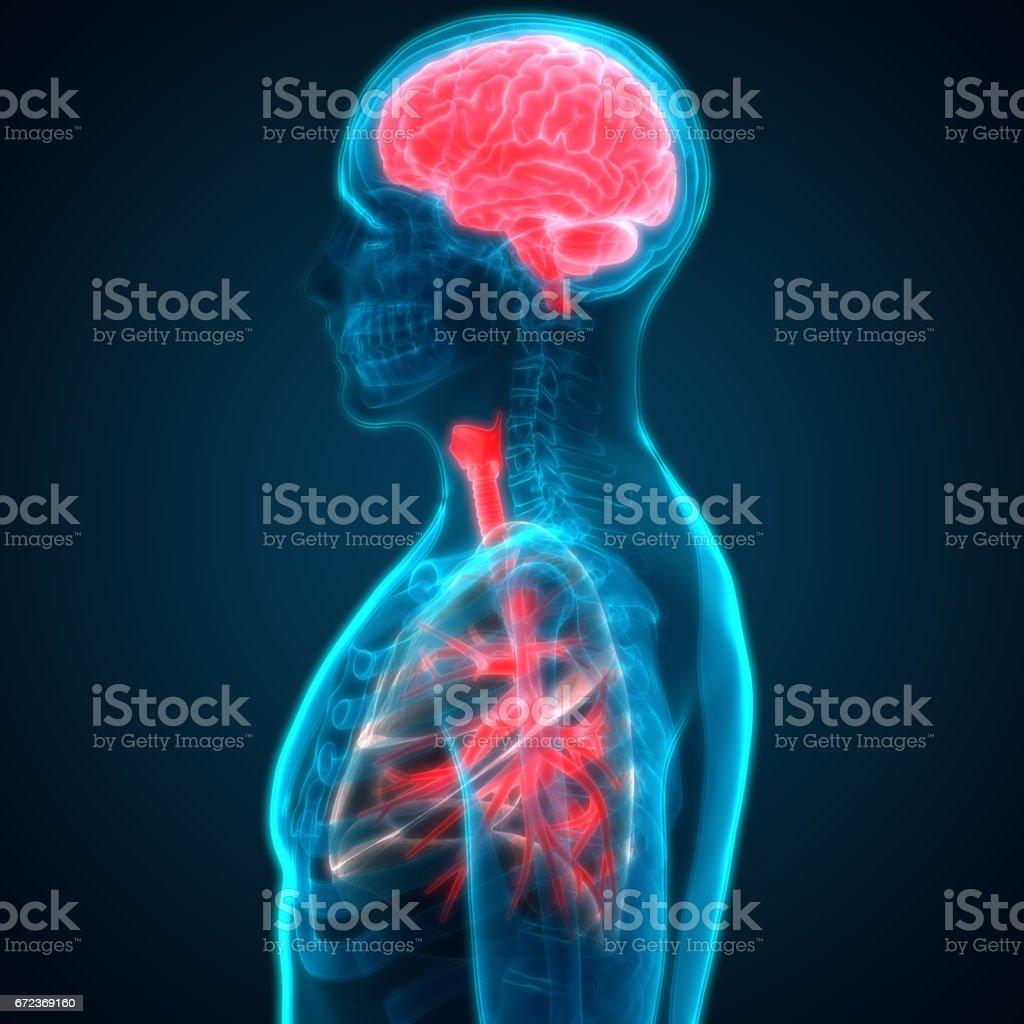 Ilustración de Anatomía Del Cerebro Y Pulmones órganos Humanos y más ...