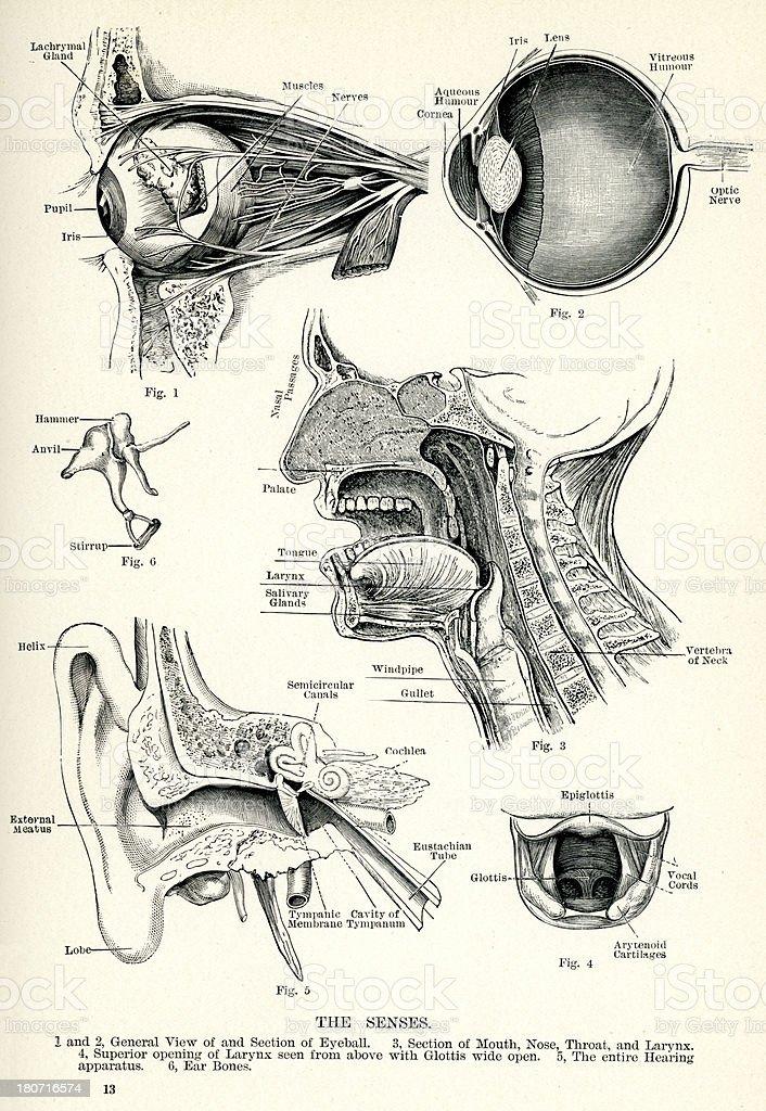 Human Senses vector art illustration