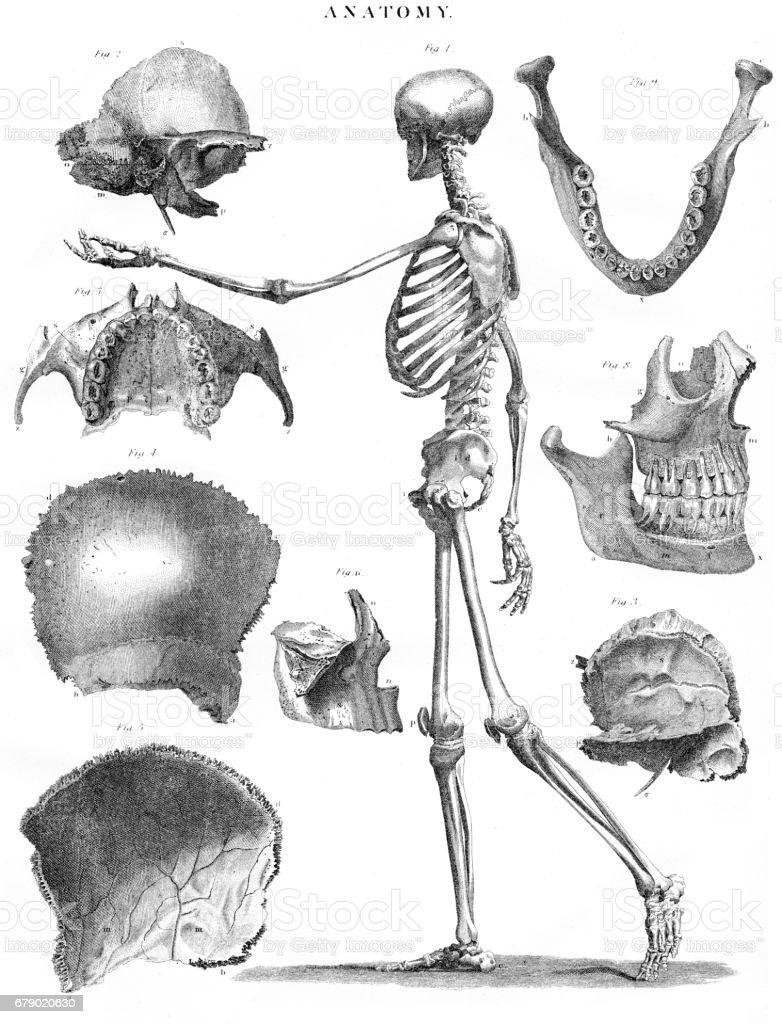 1878 oyma insan iskelet anatomisi royalty-free 1878 oyma insan iskelet anatomisi stok vektör sanatı & abd'nin daha fazla görseli