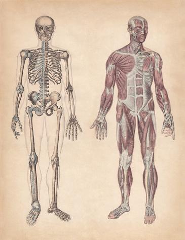 Esqueleto y músculos humanos, grabado coloreado a mano, publicado en 1861