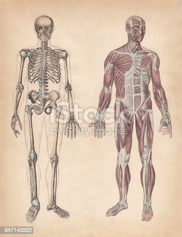 Human skeleton and muscles. Hand-coloured engraving, published in 1861.