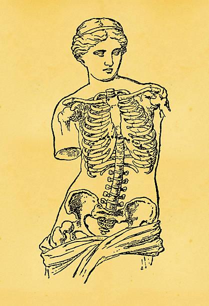 скелет человека-старые медицинская иллюстрация - venus stock illustrations