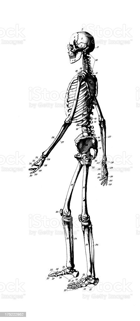 Menschliches Skelettantiken Medizinische Wissenschaftliche Grafiken ...