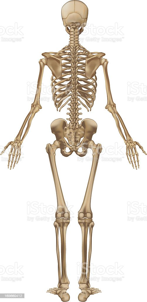 Human skeleton, back view vector art illustration