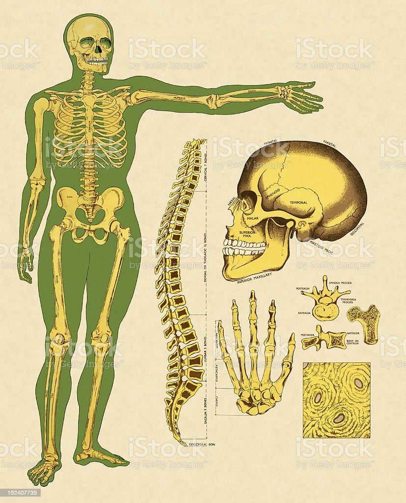 Esqueleto Humano Los Huesos - Arte vectorial de stock y más imágenes ...