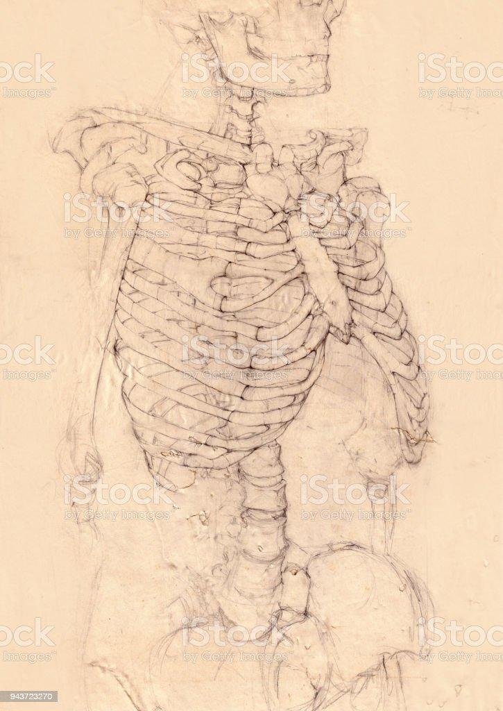 Dibujo De Esqueleto Humano - Arte vectorial de stock y más imágenes ...