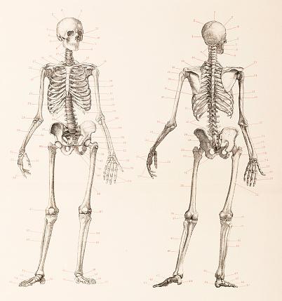 Human skeleton front and back illustration