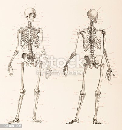 Human skeleton front and back Original edition from my own archives Source : Brockhaus Conversationslexikon 1886