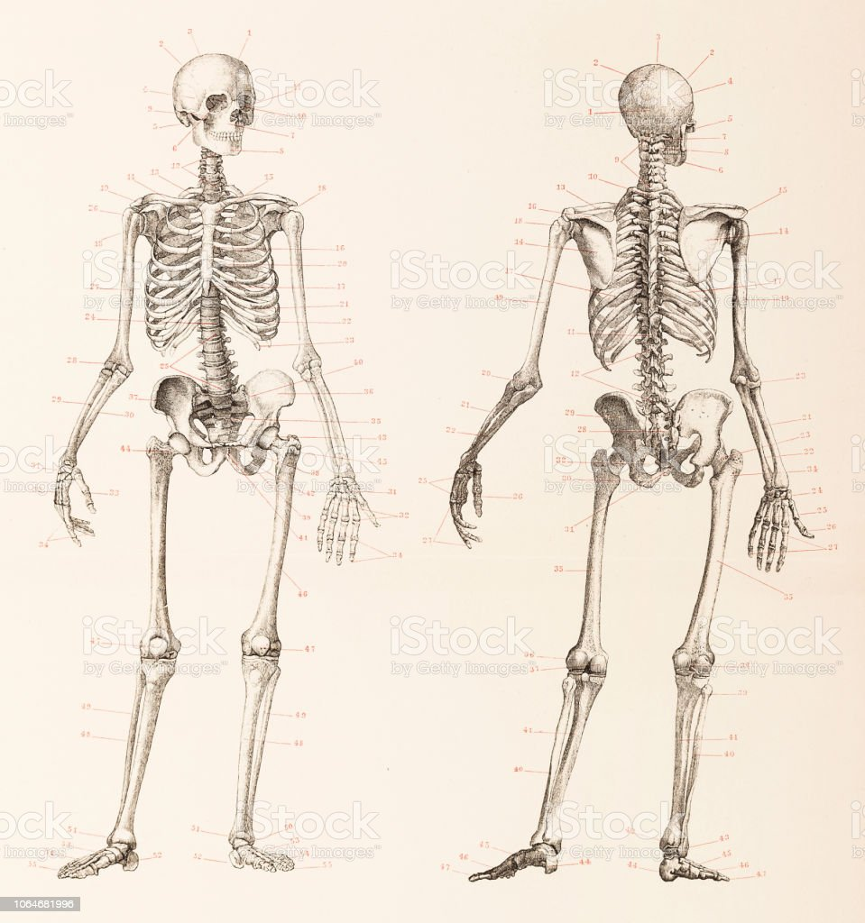 Menschliches Skelett vorne und hinten illustration – Vektorgrafik