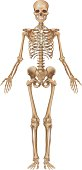 Human skeleton, front view
