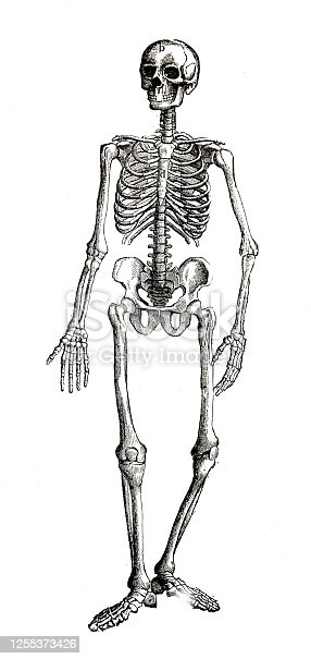 istock Human skeleton full length on white background 1255373426