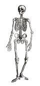 istock Human skeleton full length on white background 1255373426