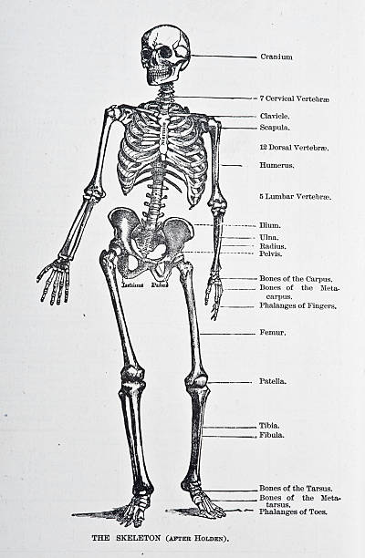 Human Skeleton http://thebrainstormlab.com/banners/ami_banner.jpg medical diagram stock illustrations