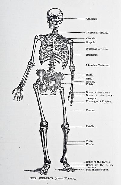 human skeleton - autopsy stock illustrations, clip art, cartoons, & icons