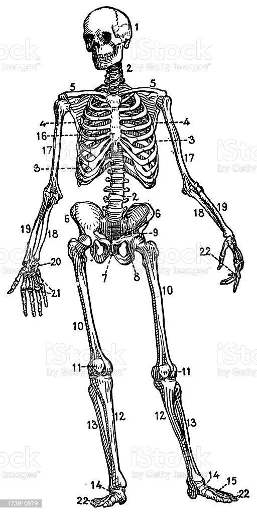 Ilustración de Esqueleto Humano y más banco de imágenes de Adulto ...