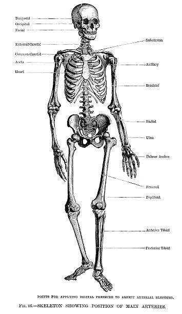 """Human Skeleton """"Vintage engraving of a Human Skeleton showing position of the main arteries , 19th century"""" medical diagrams stock illustrations"""