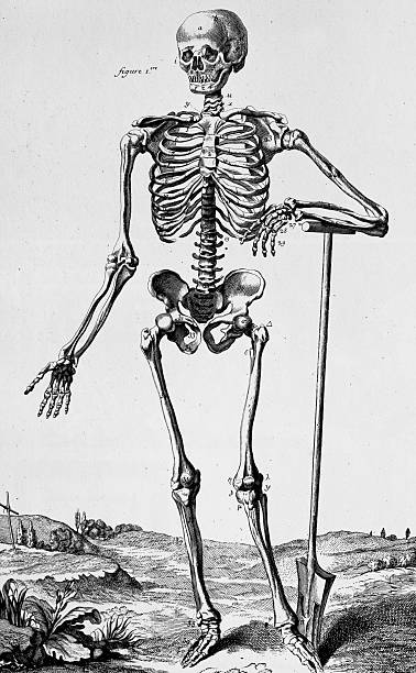 """Human Skeleton Illustration was published in """" Tables of the Encyclopedia 1762-1777"""" of Denis Diderot. medical diagrams stock illustrations"""