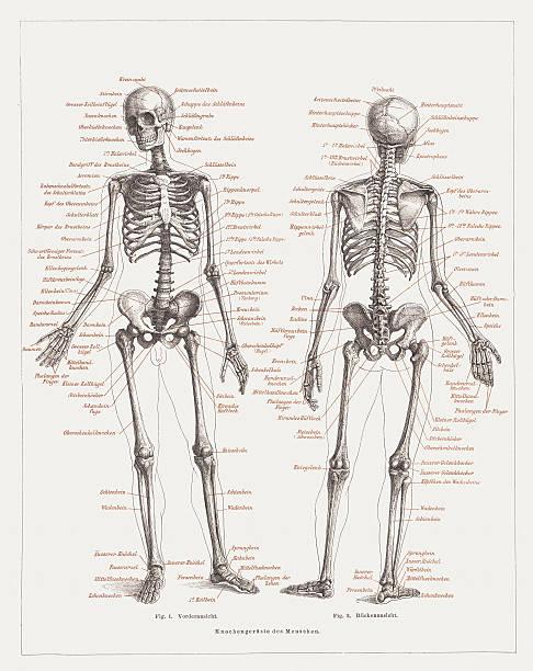 Human skeleton, lithograph, published in 1878 vector art illustration