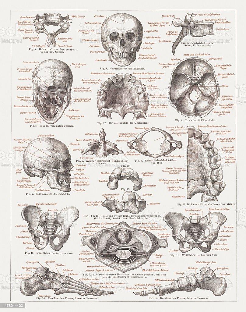 Menschliches Skelett Veröffentlichte 1878 Zogen Stock Vektor Art und ...