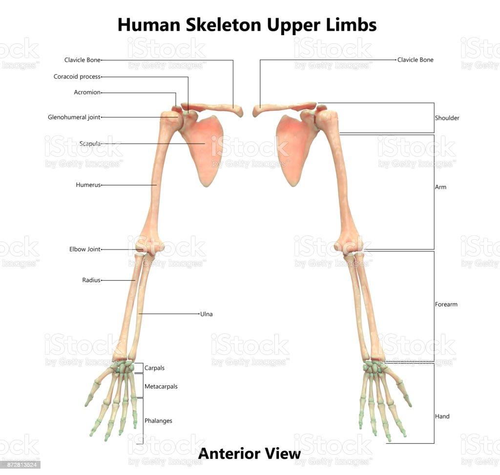 Ziemlich Untere Extremität Anatomie Arterielle Bilder - Anatomie ...