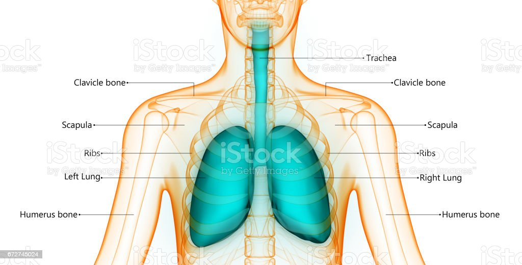 Skeletal System Diagram With Lungs Diy Enthusiasts Wiring Diagrams