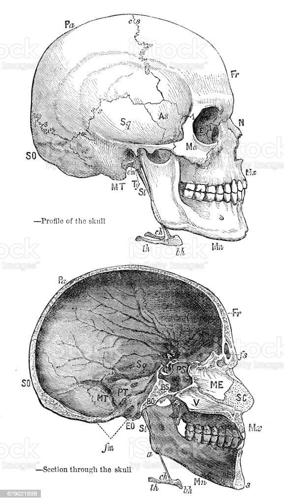 Ungewöhnlich Felsenbein Anatomie Fotos - Anatomie Von Menschlichen ...