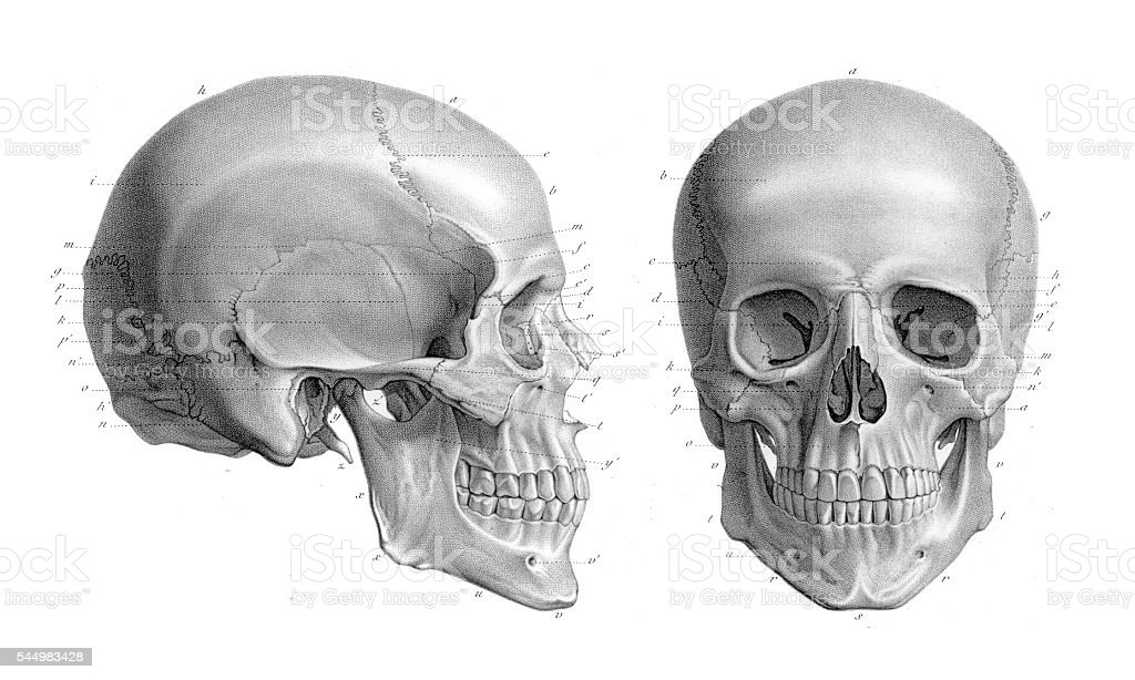 Human skull anatomy illustration 1866 vector art illustration