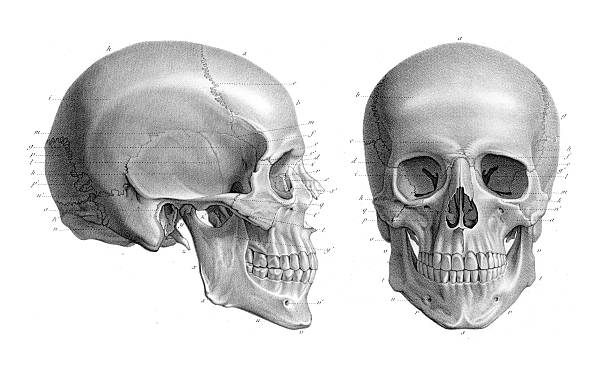 human skull anatomy illustration 1866 - animal skeleton stock illustrations
