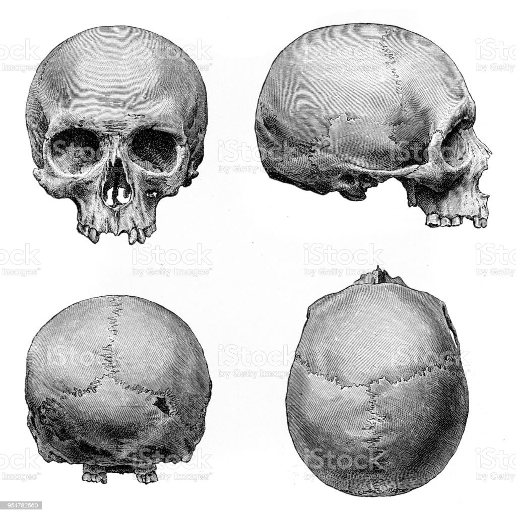 Human Skull Anatomy Illustration 1894 Stock Vector Art & More Images ...