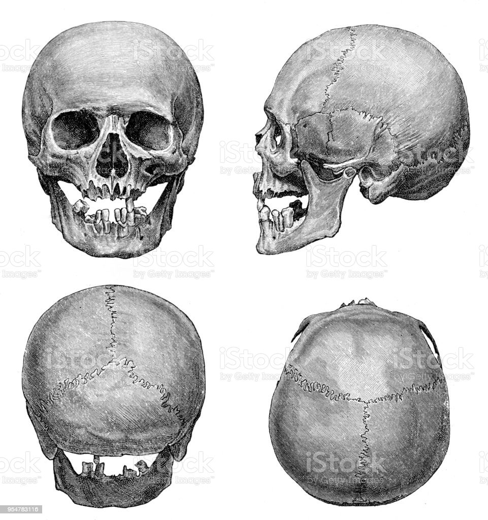 Human Skull Anatomy Illustration 1894 Stock Vector Art More Images