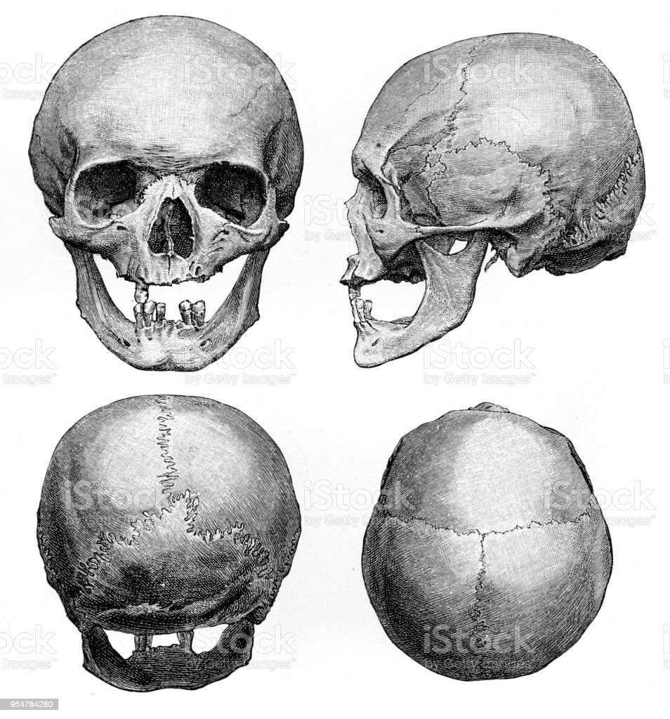 Human Skull Anatomy Illustration 1894 Stock Vector Art More Images