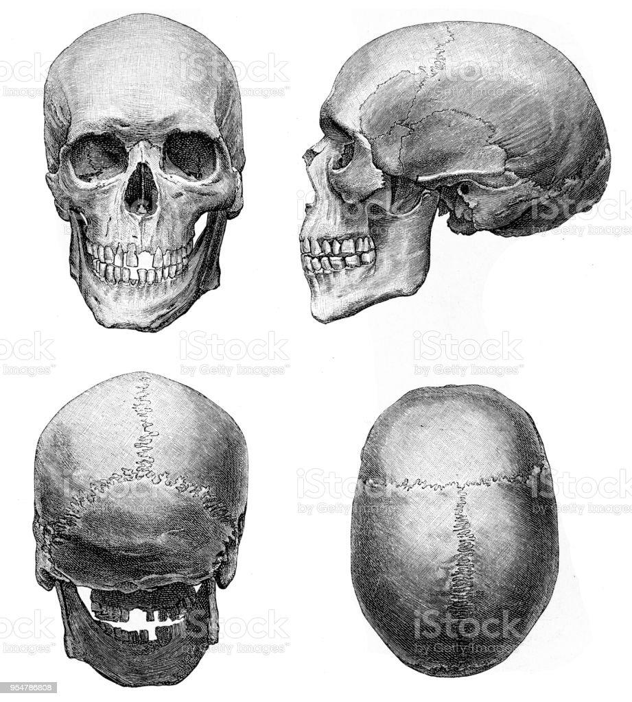 Menschlicher Schädel Anatomie Abbildung 1894 Stock Vektor Art und ...