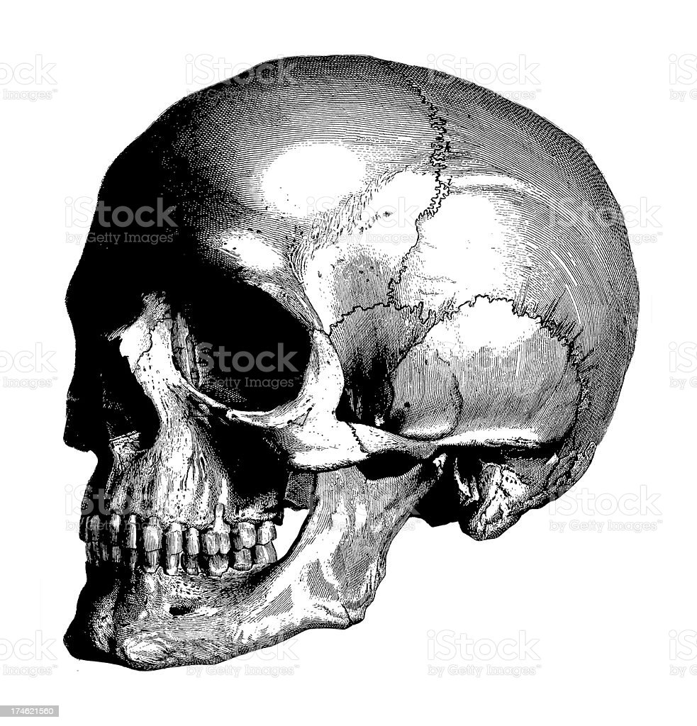 Human Skull | Antique Medical Illustration royalty-free human skull antique medical illustration stock vector art & more images of 18th century