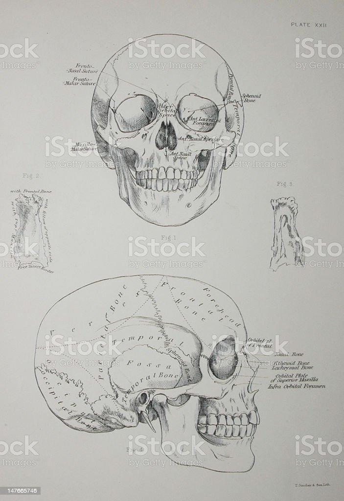 Großartig Menschlicher Schädel Diagramm Fotos - Menschliche Anatomie ...
