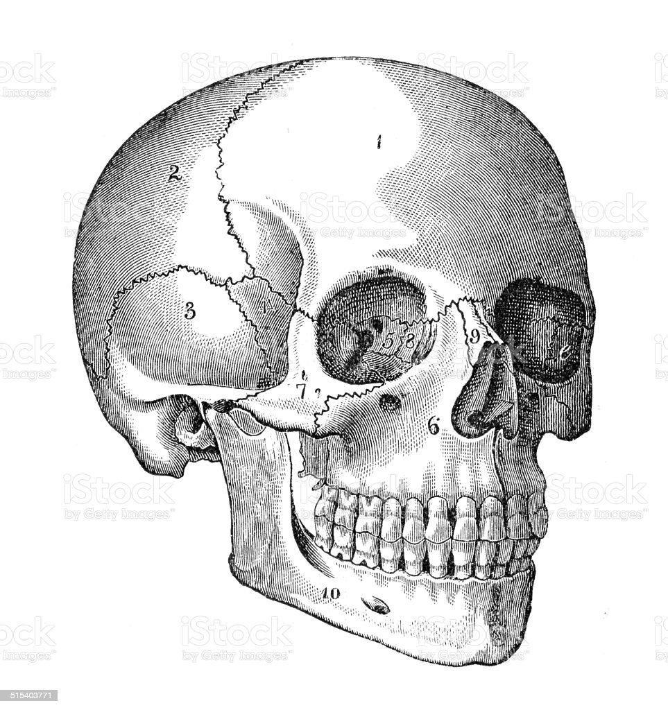 Human Skull Engraving Stock Vector Art & More Images of Anatomy ...