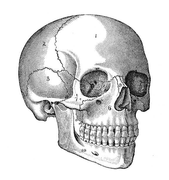 human skull engraving - animal skull stock illustrations